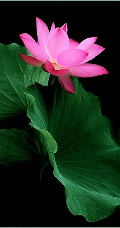 heart pink and green lotus