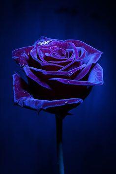 Indigo rose