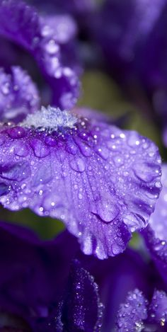 lavender flower petal